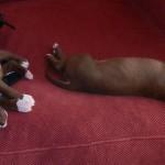 cachorro pitbull 2